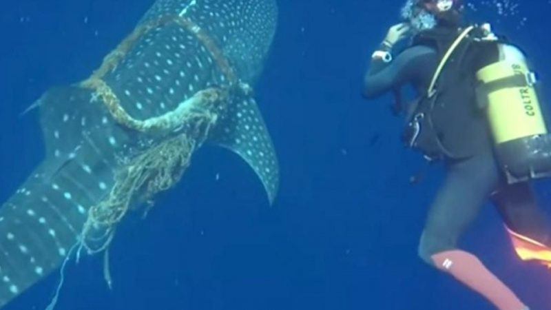 Two divers released a whale shark …