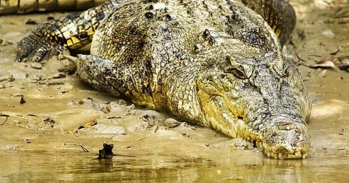 Saved from a death eaten by a crocodile thanks to a YouTube tutorial |  Chronicle
