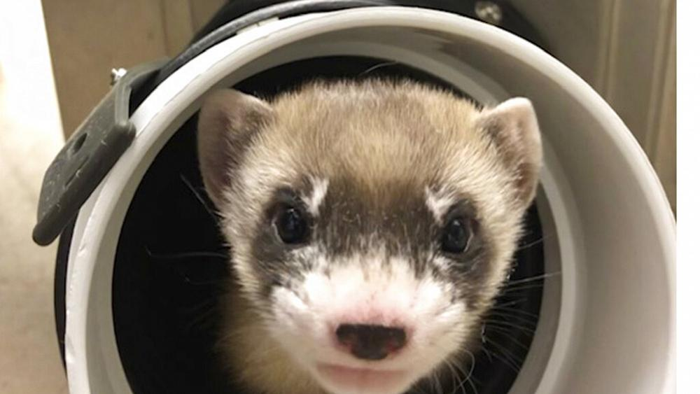 The first clone of an endangered species in the United States killed a ferret in 30 years