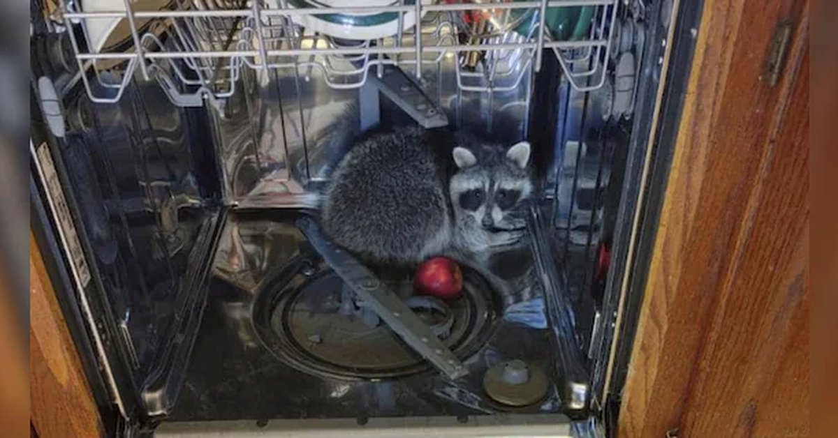 """""""There is a raccoon in the dishwasher"""": The unusual call the Ohio Police got"""