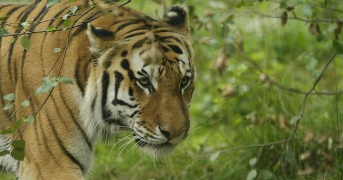 A tiger gnawed at eight people after breaking its cage and running away  Chronicle