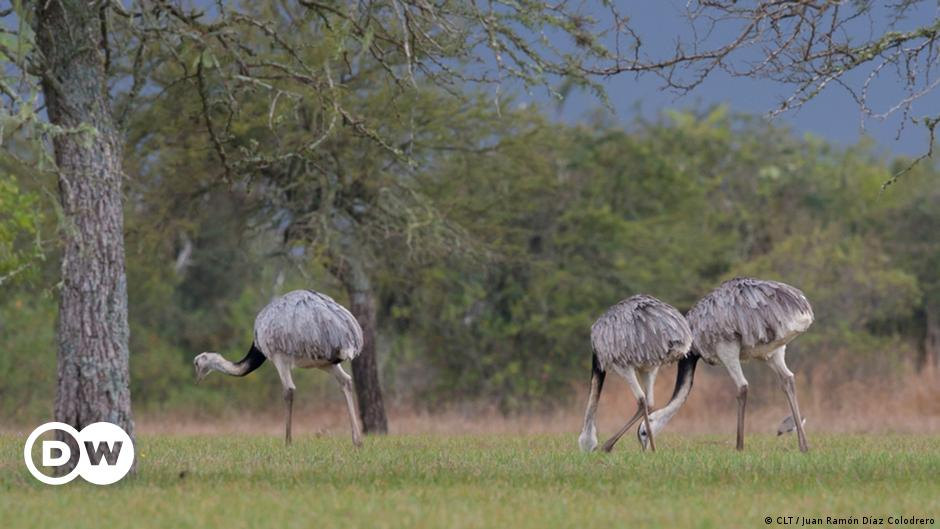 14 samples of Rhea released into wildlife in Chile |  Science and Ecology |  DW