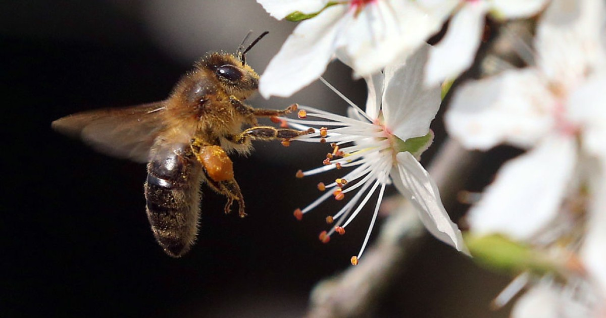 Scientists are training bees to detect samples with COVID-19