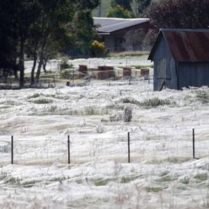 To a rat plague of biblical proportions, Australia adds to its woes 'spider apocalypse'