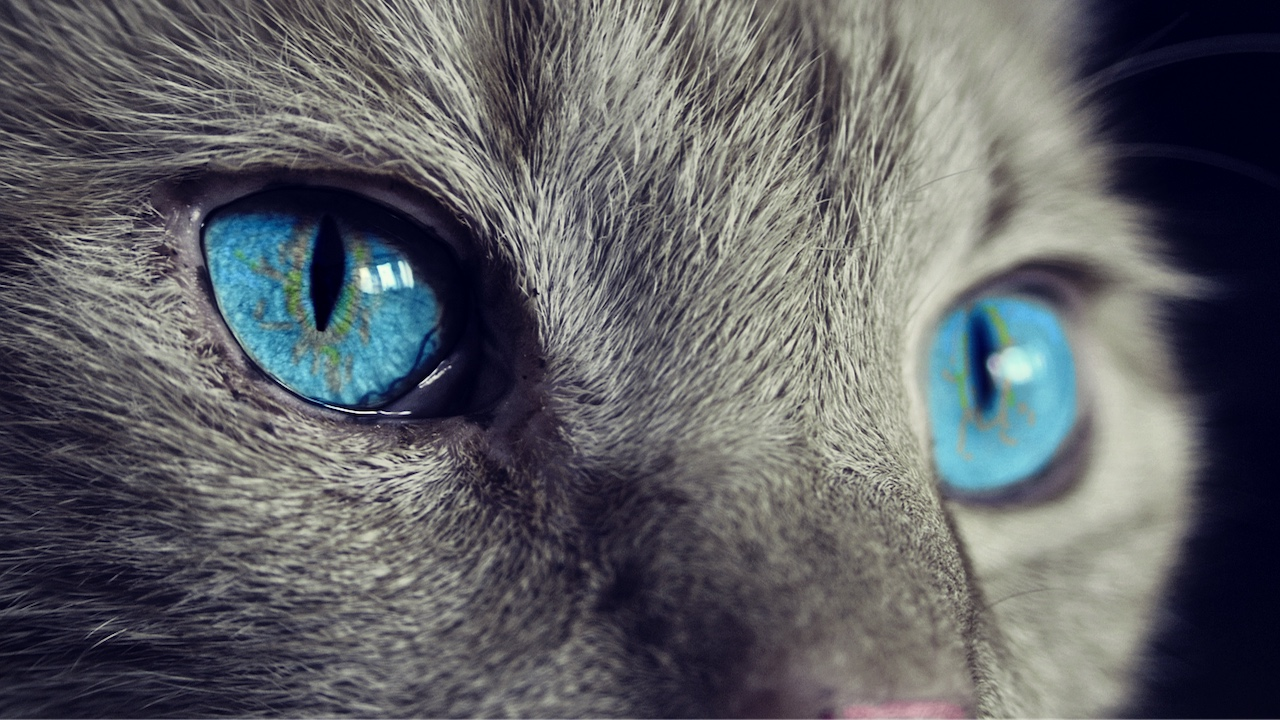 Why do cats eyes glow in the dark?