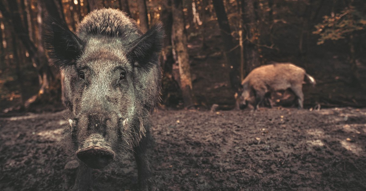 A study measured the impact of wild boars on climate change: the result was surprising