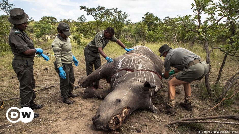 Rhino hunting increases by 50 percent in South Africa    Science and Ecology    DW