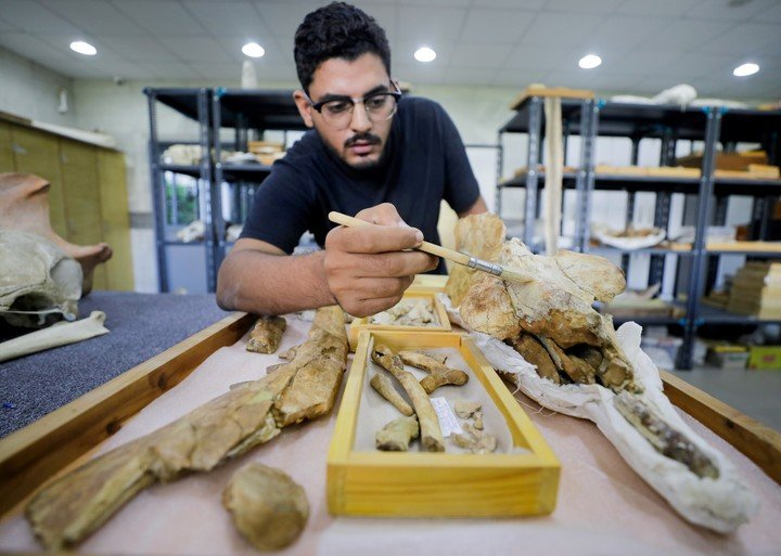 Abdullah Gohar, one of the leaders of the team that discovered the unique whale specimen in Egypt, removes the fossilized remains of this animal.  Photo: Reuters