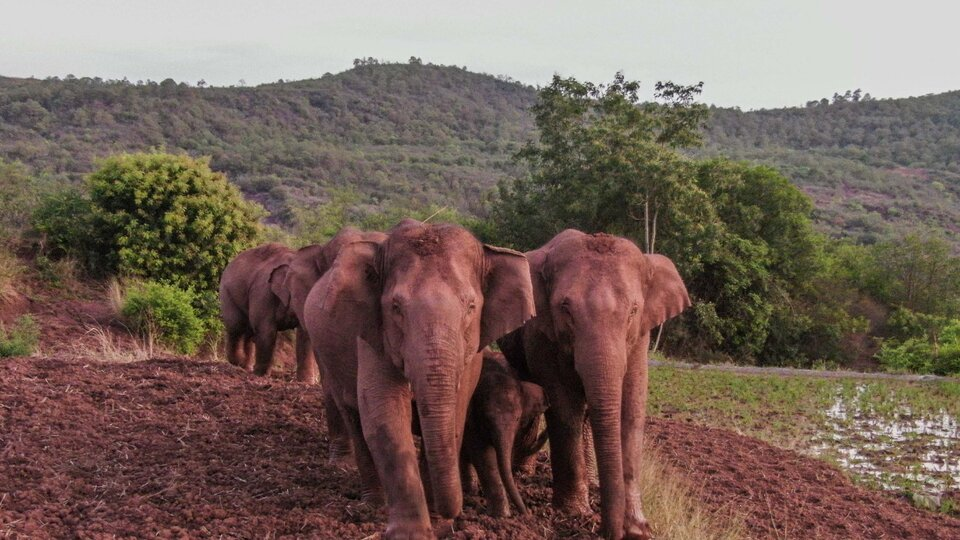 China: After a 500-kilometre journey in 17 months, herd of roaming elephants is on its way home