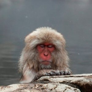 The story of Yaki, the first alpha female in a herd of macaques |  in Japan