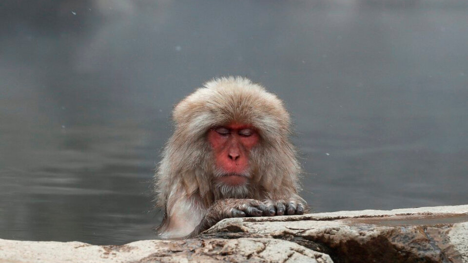 The story of Yaki, the first alpha female in a herd of macaques    in Japan
