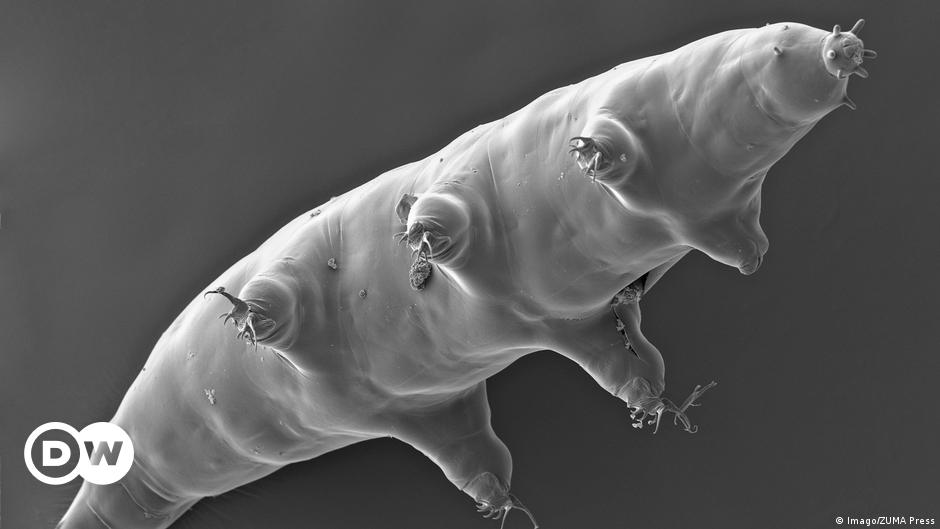 Unpublished sequence reveals how little tardigrades walk    Science and Ecology    DW