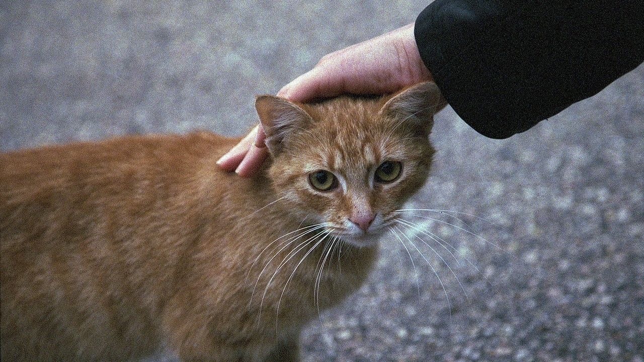 Do cats use their meow as language?