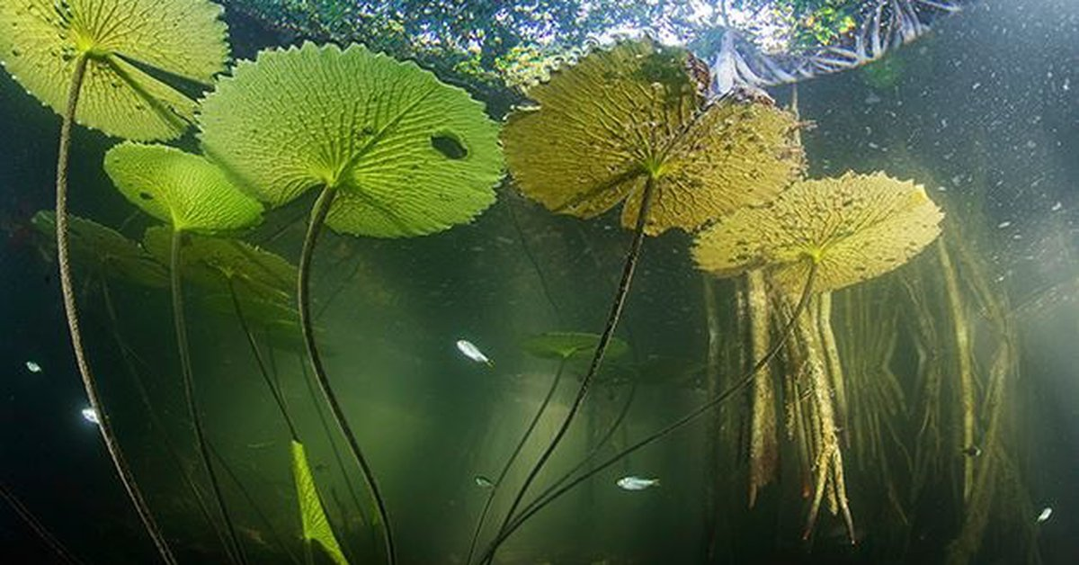 """Science.-A """"lost world"""" of mangroves discovered in the interior of Yucatan"""